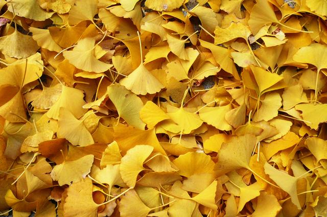 写真素材集 イチョウの葉